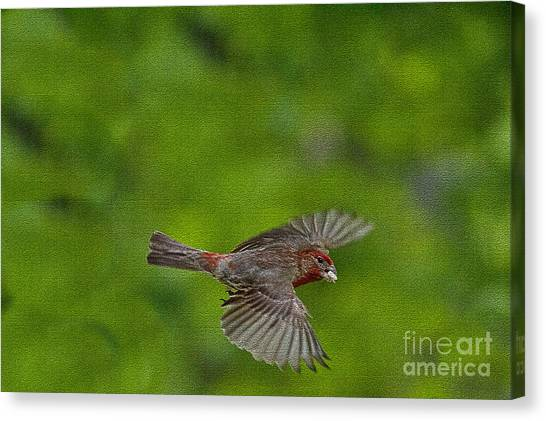 Bird Soaring With Food In Beak Canvas Print