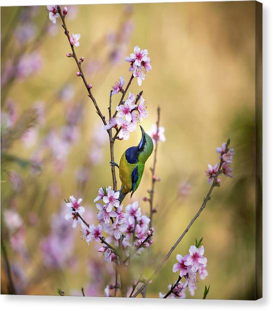 Peaches Canvas Print - Bird Whispering To The Peach Flower by Jianfeng Wang