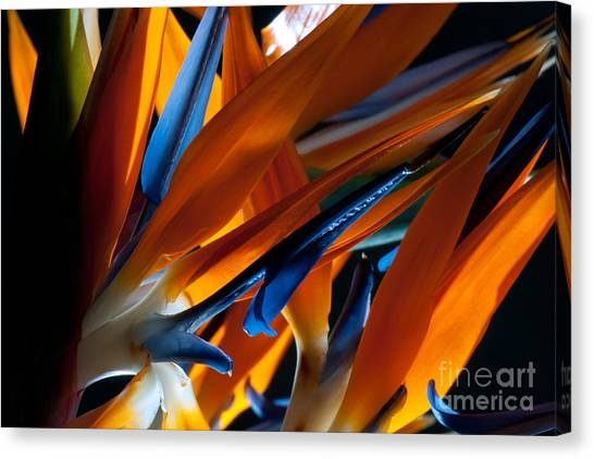Birds Of Paradise Canvas Print by Todd Edson