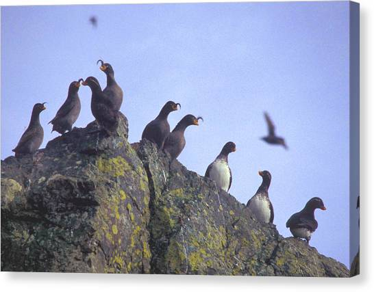 Auklets Canvas Print - Birds On Rock by F Hughes