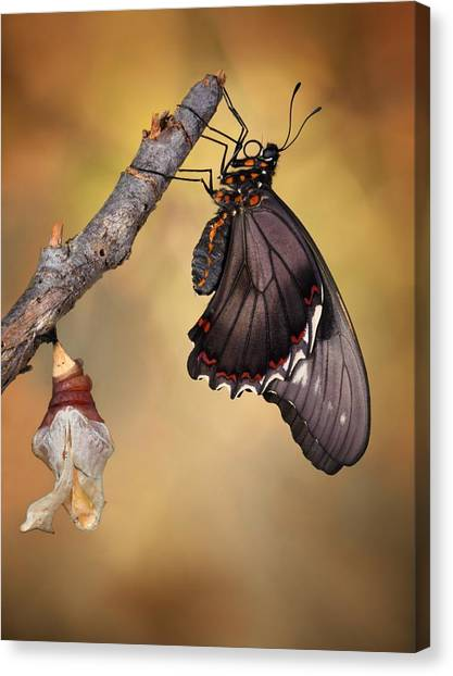 Costa Rican Canvas Print - Birth Of A Swallowtail by Jimmy Hoffman