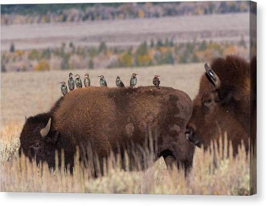 Bison And Buddies Canvas Print