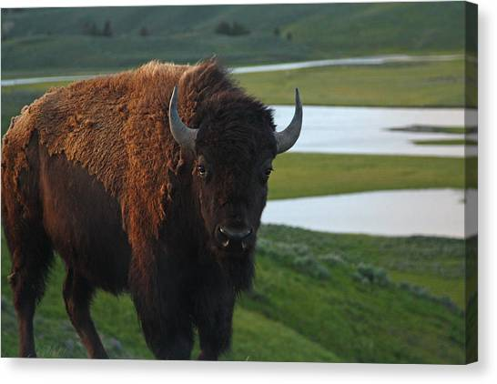Bison Bull In Hayden Valley In Yellowstone National Park Canvas Print