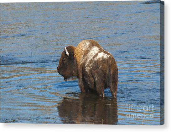 Bison Crossing River Canvas Print
