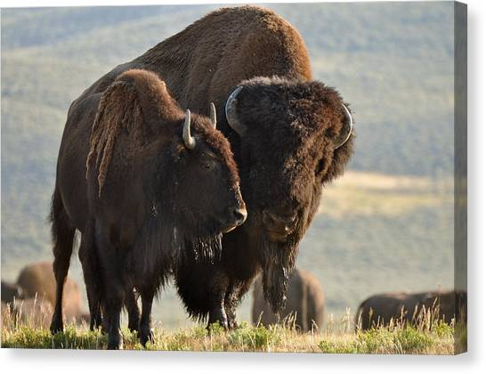 Bison Friends Canvas Print
