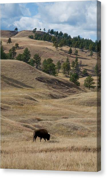 South Buffalo Canvas Print - Bison Grazing Custer State Park South by Animal Images