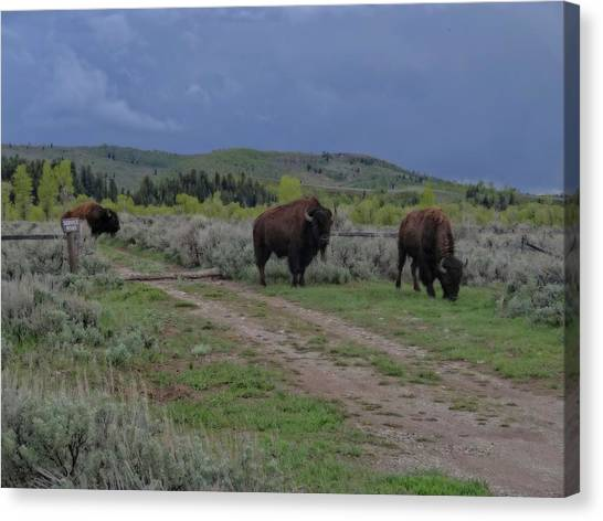 Offroading Canvas Print - Bison Herd In The Tetons by Dan Sproul