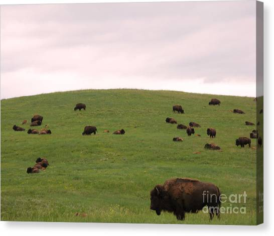 South Buffalo Canvas Print - Bison Herd by Olivier Le Queinec