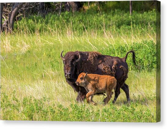 South Buffalo Canvas Print - Bison Herd With Calves In Custer State by Chuck Haney