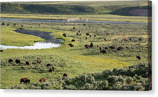 Bison In Hayden Valley In Yellowstone National Park Canvas Print