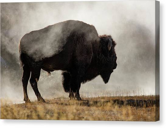 Wyoming Canvas Print - Bison In Mist, Upper Geyser Basin by Adam Jones