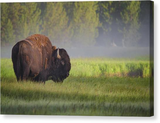 Forest Canvas Print - Bison In Morning Light by Sandipan Biswas