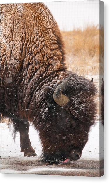 Bison In Snow_1 Canvas Print