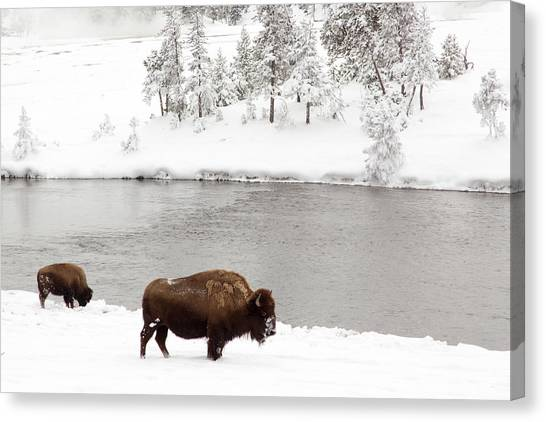 Bison In The Winter At Yellowstone Canvas Print