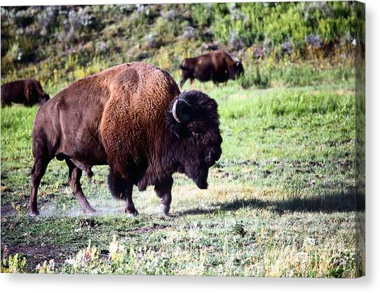 Bison In Yellowstone Canvas Print by Sophie Vigneault