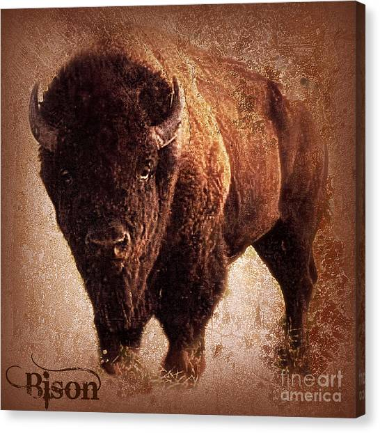 Bison Canvas Print
