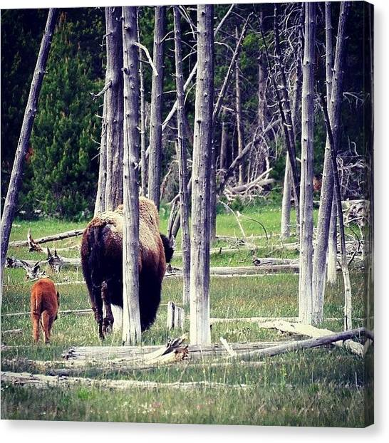 Bacon Canvas Print - #bison #montana #wildlife #motherandbaby by Neil Bacon