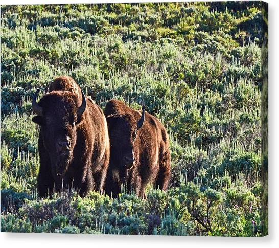 Bison Morning Canvas Print