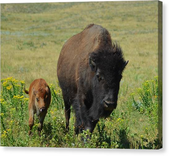 Bison Mother And Calf Canvas Print by Dakota Light Photography By Dakota