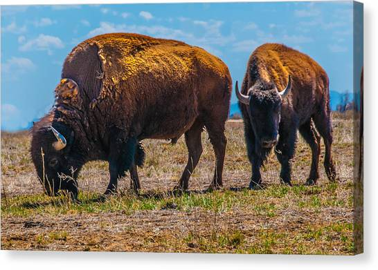Bison Pair_1 Canvas Print