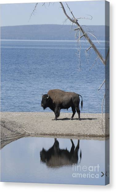 Bison Reflecting Canvas Print by Bob Dowling