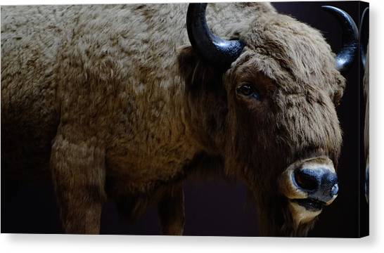 Bison Stuffed Canvas Print