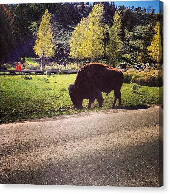 Yellowstone National Park Canvas Print - #bison #yellowstone #national #park by Ankur Agarwal