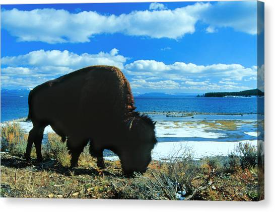Bison Yellowstone Canvas Print