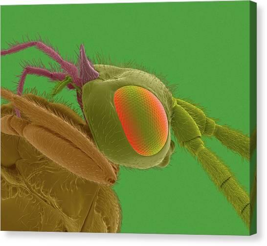 Gnats Canvas Print - Biting Midge Head by Dennis Kunkel Microscopy/science Photo Library