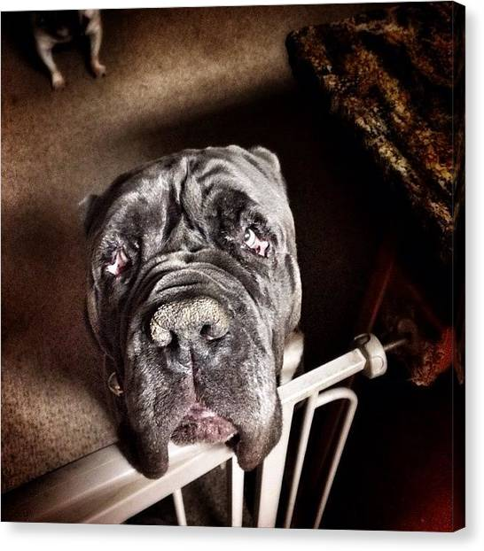 Mastiffs Canvas Print - @bjbaldwin This Is Why I Asked.  Your by James Crawshaw