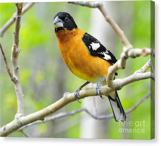 Blach-headed Grosbeak Canvas Print