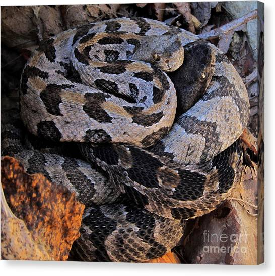 Timber Rattlesnakes Canvas Print - Black And Blue by Joshua Bales