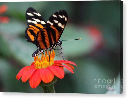 Black And Brown Butterfly On A Red Flower Canvas Print