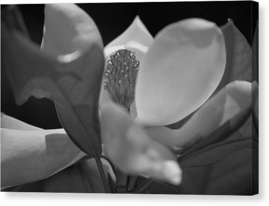 Black And White Magnolia Canvas Print