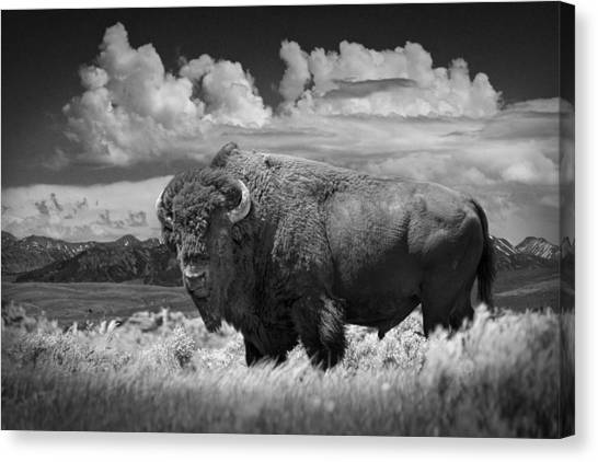 Black And White Photograph Of An American Buffalo Canvas Print