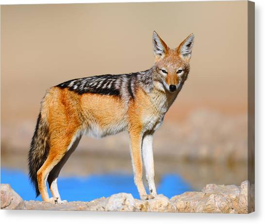 Carnivore Canvas Print - Black-backed Jackal by Johan Swanepoel