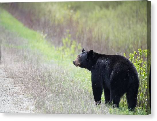 Black Bear 3 Canvas Print by Andy Fung