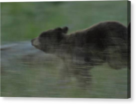 Black Bear Cub Canvas Print