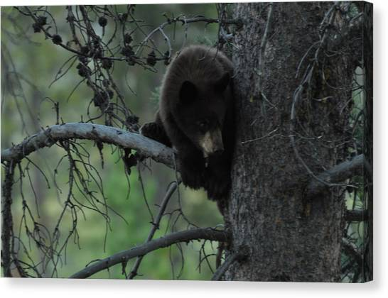 Black Bear Cub In Tree Canvas Print