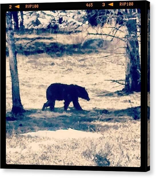 Yellowstone National Park Canvas Print - Black Bear - Yellostone Np by Denette Jacobson