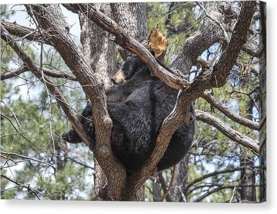 Black Bear In A Tree Canvas Print