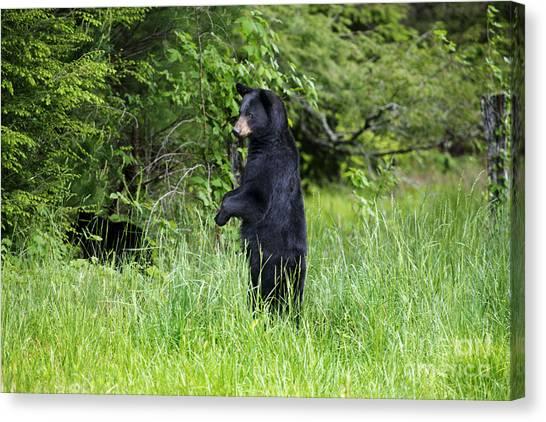Black Bear Standing Upright Looking Canvas Print by Dan Friend