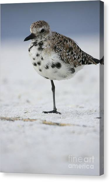 Black-bellied Plover Canvas Print