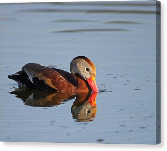 Black-bellied Whistling Duck Canvas Print