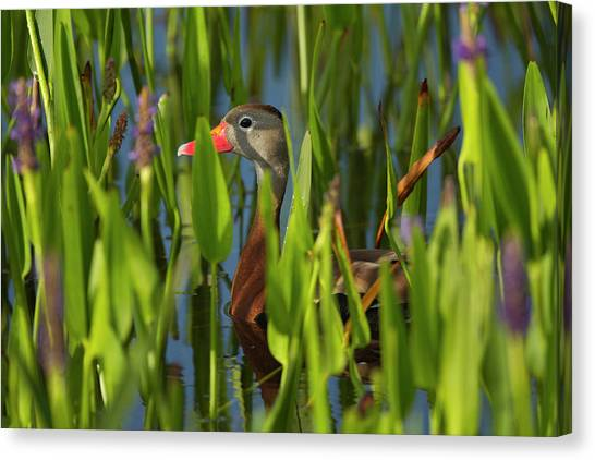 Cavity Canvas Print - Black-bellied Whistling Duck by Maresa Pryor