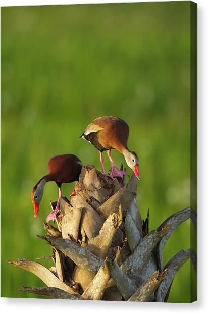 Cavity Canvas Print - Black-bellied Whistling Duck Pair by Maresa Pryor