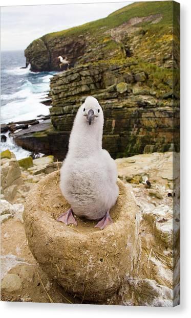 Albatross Canvas Print - Black-browed Albatross Chick Falklands by