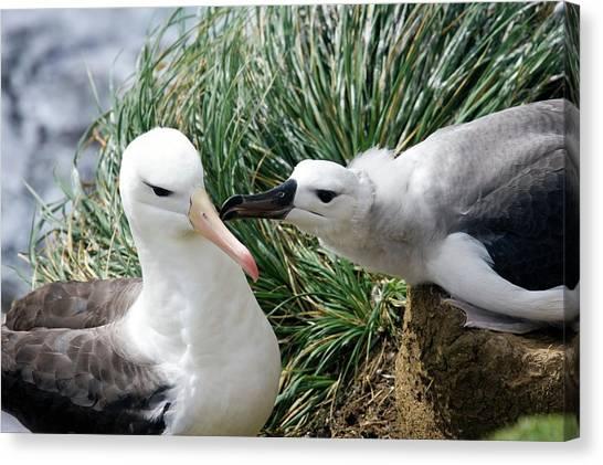 Albatrosses Canvas Print - Black-browed Albatross by Steve Allen/science Photo Library