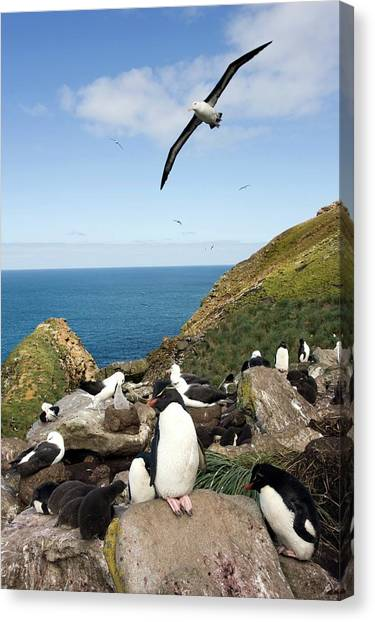 Albatrosses Canvas Print - Black-browed Albatross by William Ervin/science Photo Library