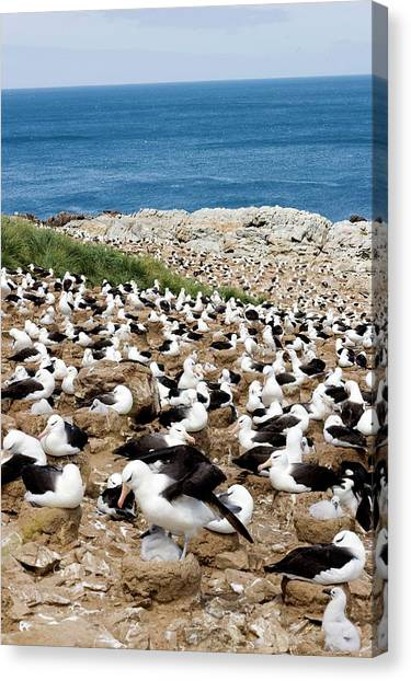 Albatrosses Canvas Print - Black-browed Albatrosses With Their Young by William Ervin/science Photo Library